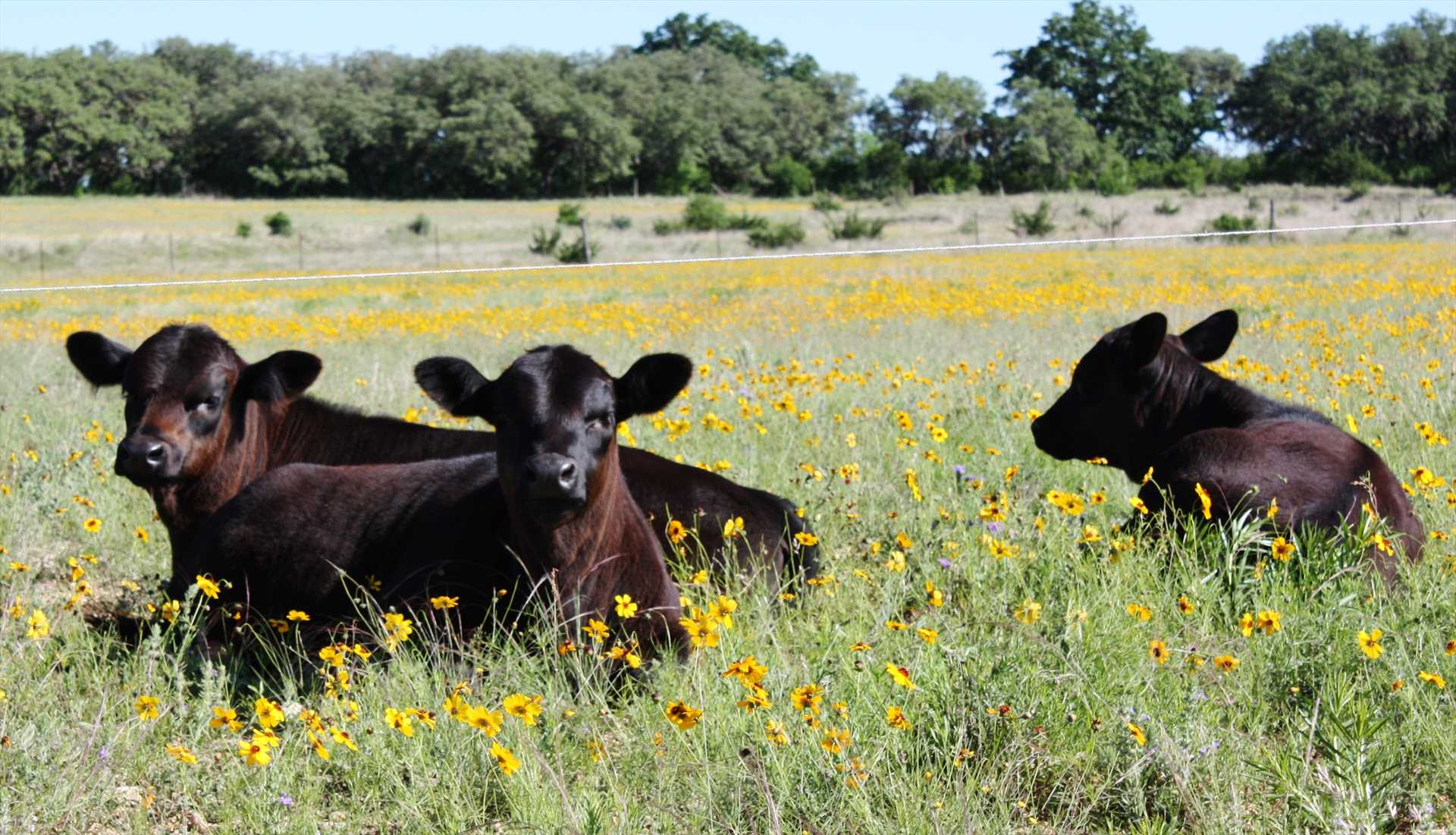 We raise organic Angus Cattle