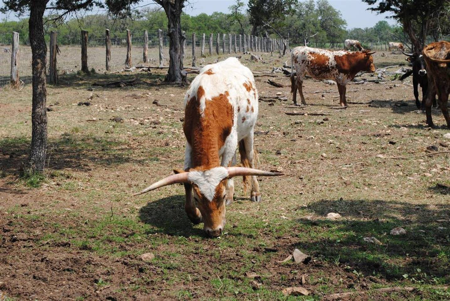 Longhorns roam the pastures here, they're a Texas classic!