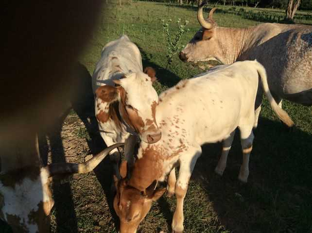 It wouldn't be Texas without Longhorns, and there are plenty that roam the ranch!