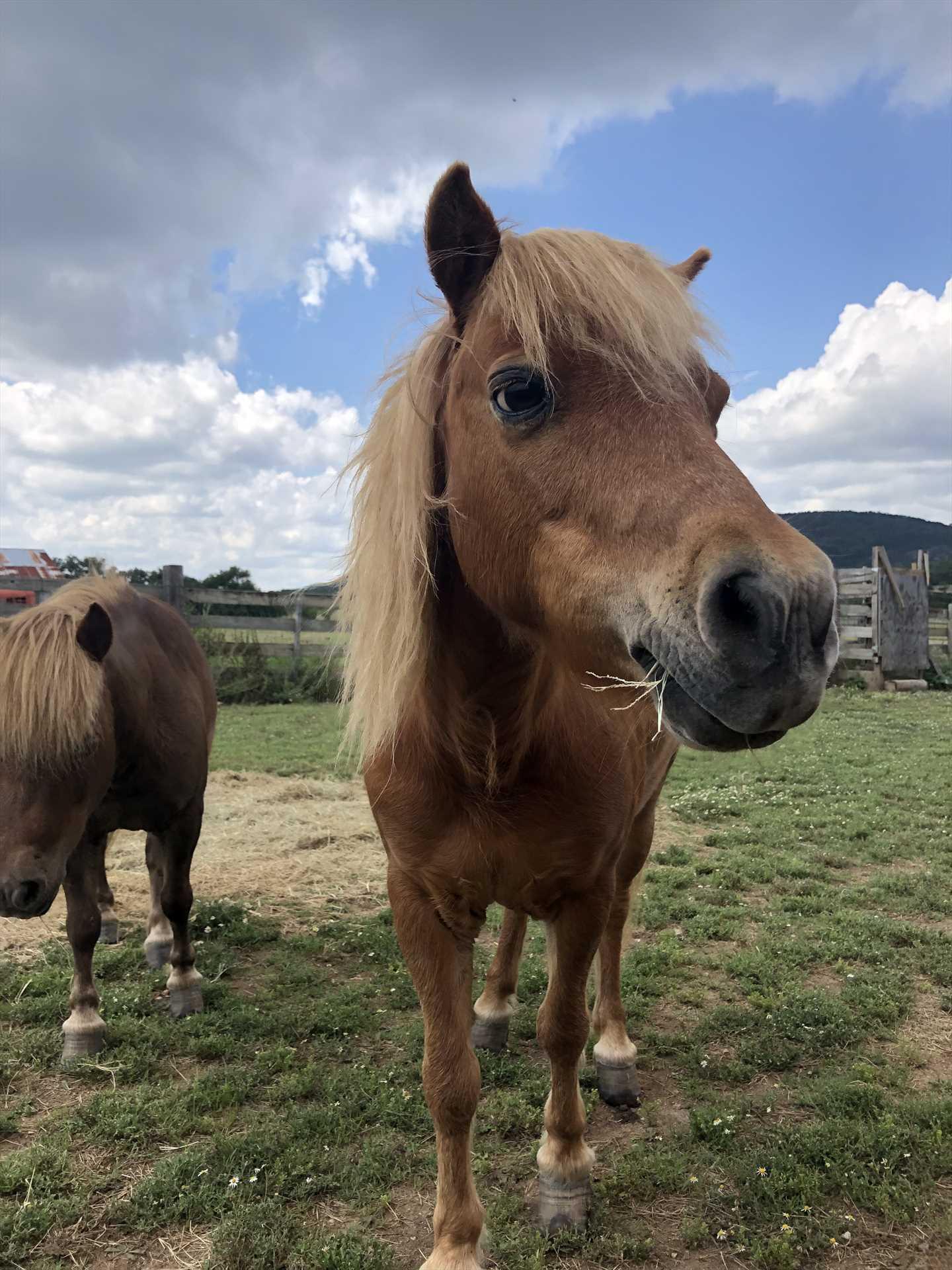 The miniature horses on the farm love greeting visitors!