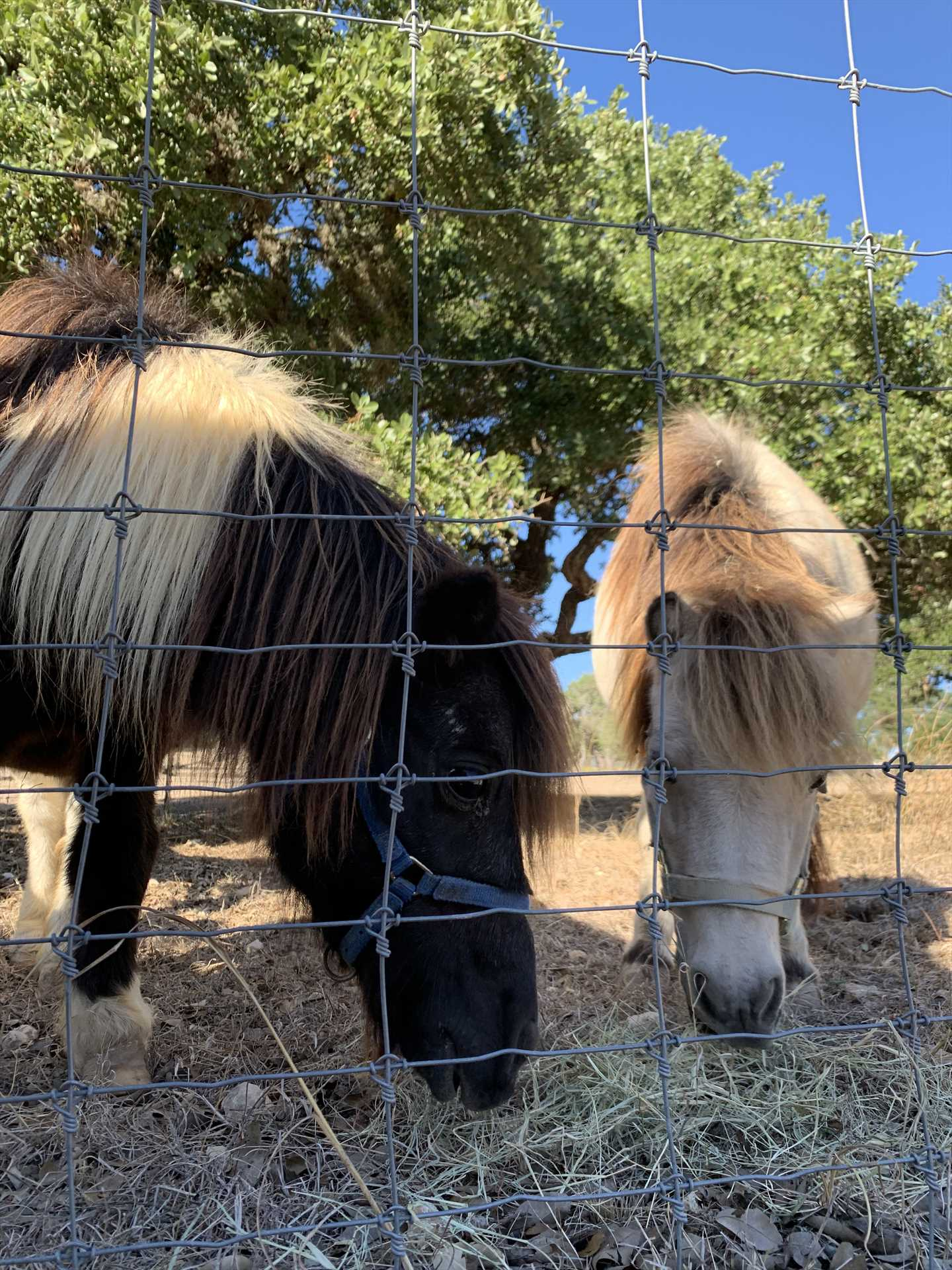Feel free to say hello to the friendly miniature (and regular-sized) horses at the ranch!